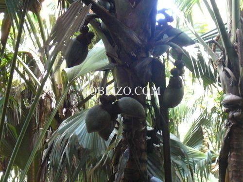 Неузрели плодове на Коко де Мер