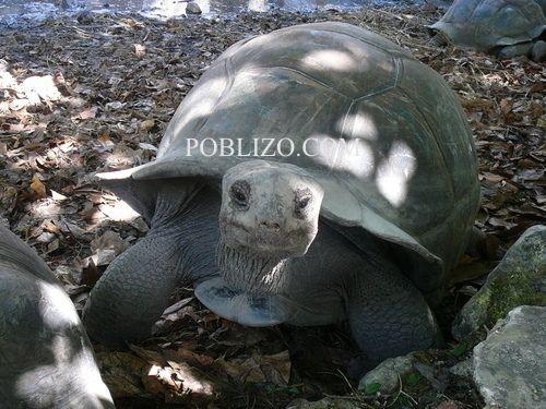 Гигантска костенурка на остров Ла Диг