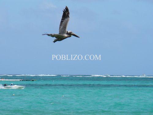 Пеликан ловува рано сутринта