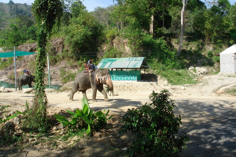 Слоновете се използват, както конете в България