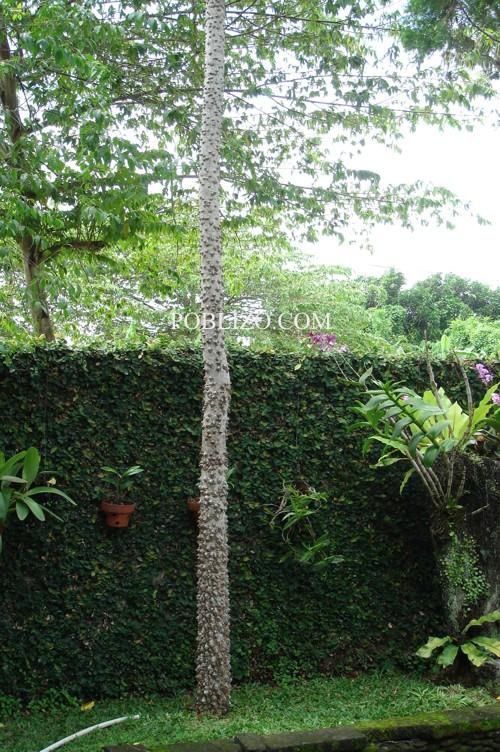 Странно дърво с брадавици