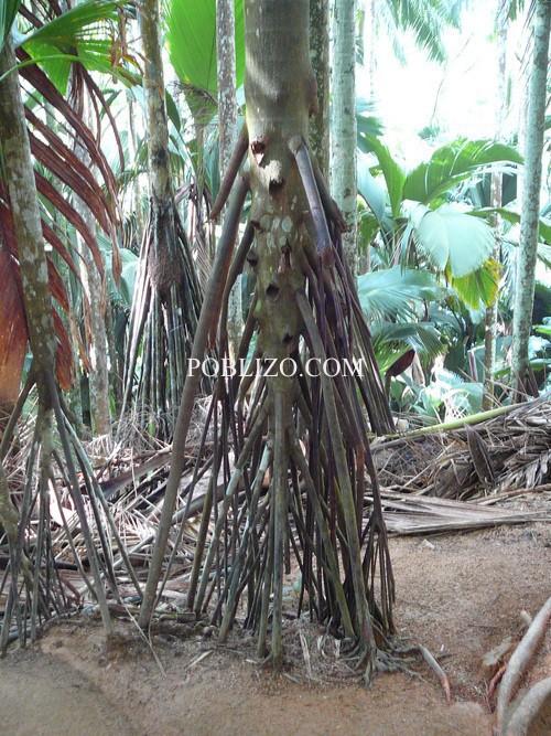 Палма без основно стъбло