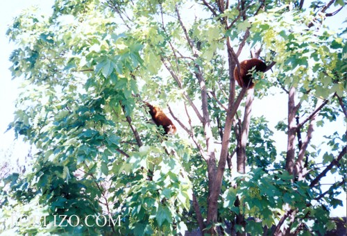 Свободно скачащи по дърветата маймуни в зоологическата градина