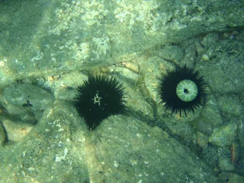 Морски таралежи