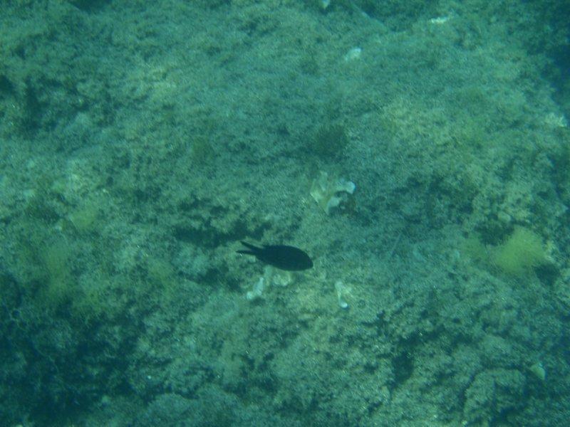 Риба с лястовича опашка
