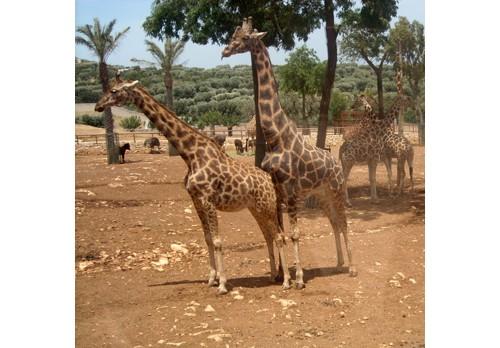 Жирафите в сафари парка