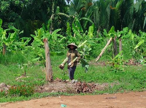 Бананова плантация във Виетнам