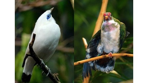 Балийски скорец и гълъб