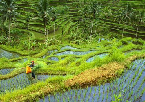 Оризова нива под вулкана Батур