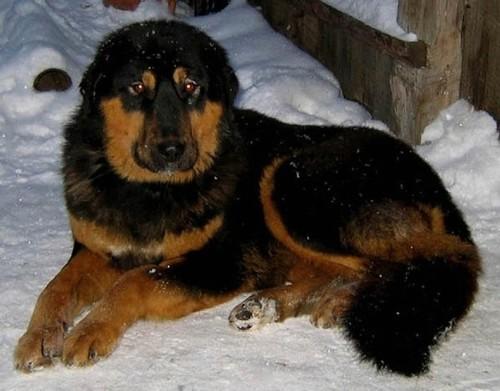 Монголско куче