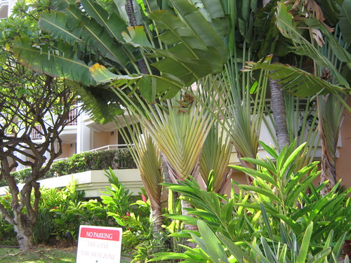 Ветрилообразни палми