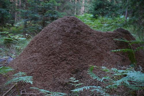 Гигантски мравуняк край пътеката
