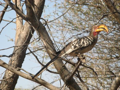 Southern Yellow-billed Hornbill (Tockus leucomelas) – вид птица-носорог, широко разпространена в Ботсвана