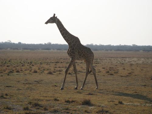 Любопитен жираф приближи до джипа на 20 метра и ни подмина величествено.