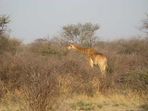 Пасящ край пътя жираф
