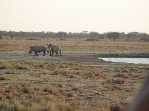 Бели носорози на водопой – майка с поотрасналото й малко
