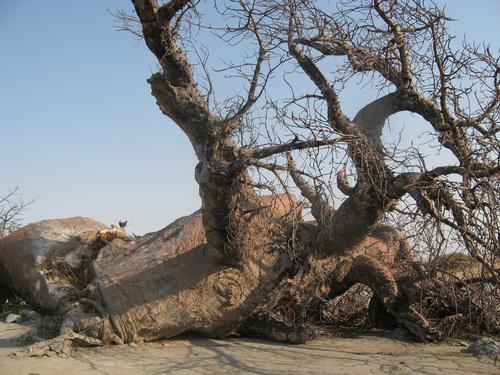 В дъждовния сезон боабабът може да абсорбира вода като гъба, което обяснява необичайната дебелина на тези дървета - те всъщност представляват огромни резервоари за вода.