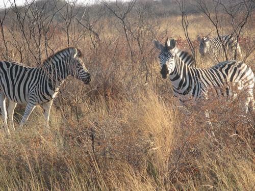 Пасящи край пътя зебри