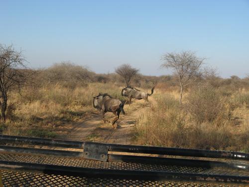 Антилопи гну
