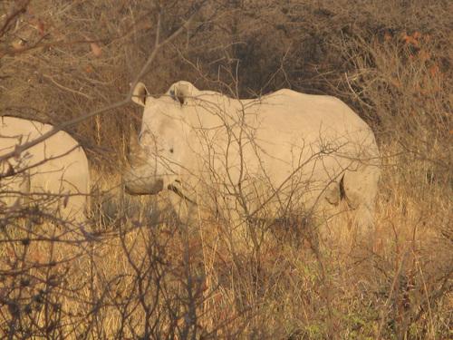 Този женски носорог е на около 50 метра от нас!