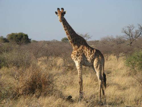 Жирафите в парка са много любопитни същества и изобщо не се страхуват от хората.