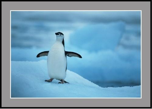 Антарктически пингвин - полицай
