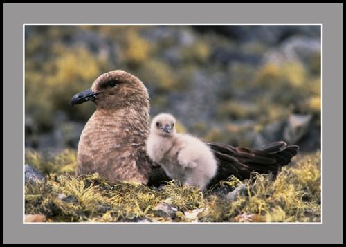 Мама Скуа с малкото си (Антарктическа чайка Скуа)