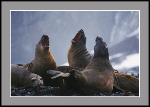Тримата тенори (тюлени Морски слон)