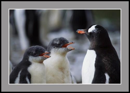 Урок по пеене (пингвини Папуа)