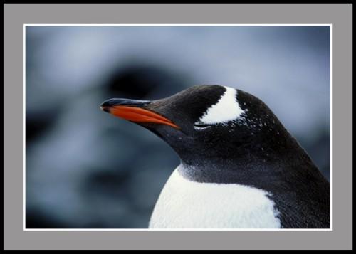 Пингвин Папуа