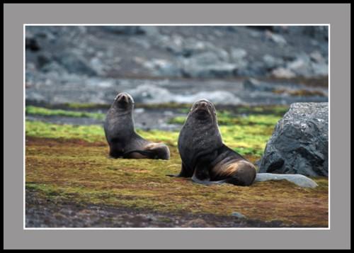 Двойка ушати тюлени