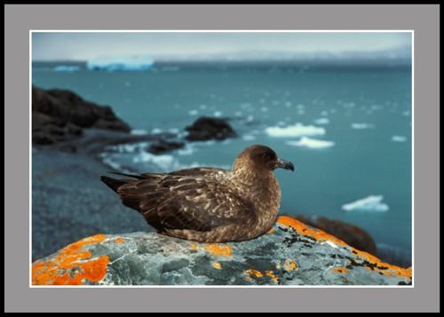 Наблюдател (Антарктическа чайка Скуа)