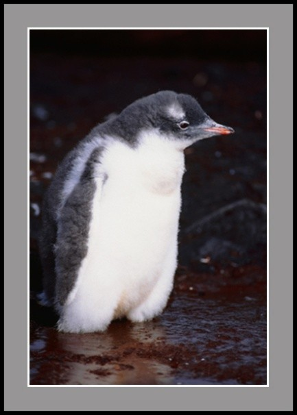 Двумесечен пингвин