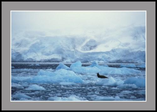Леопардов тюлен в сиеста