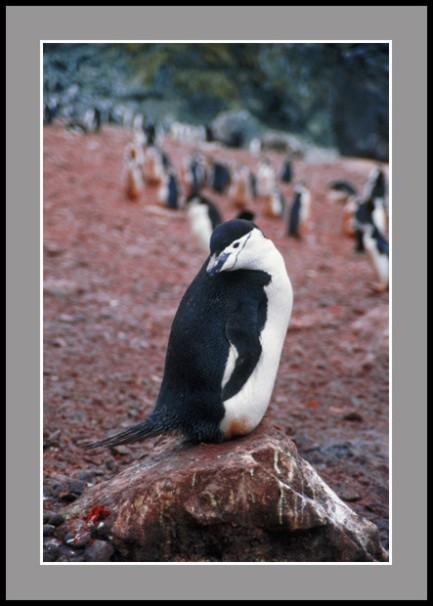 Антарктическа кокетка