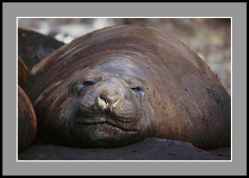 Тюлен Морски слон