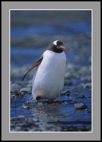 Пингвин Папуа на разходка