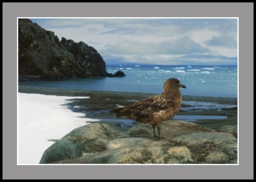 Антарктическа чайка Скуа