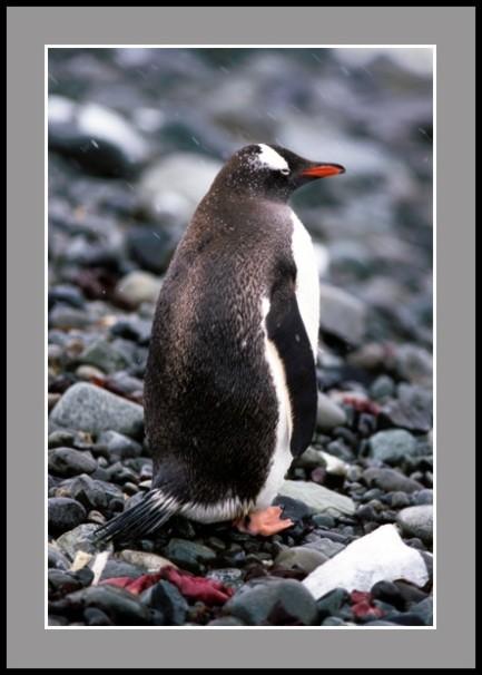 Пингвин Папуа по брега