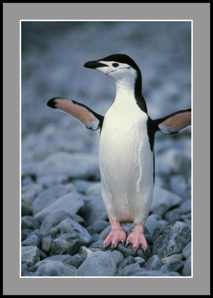 Антарктически пингвин - полицай II