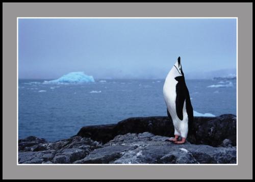 Антарктически пингвин пее
