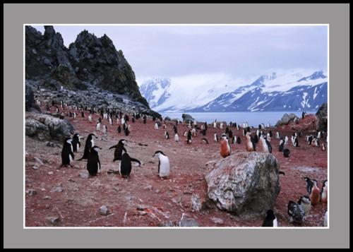 Колония на антарктически пингвини
