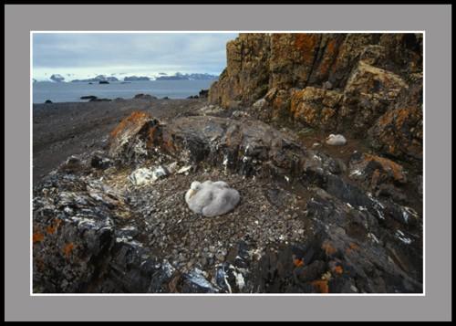 Колония на гигантски петрели