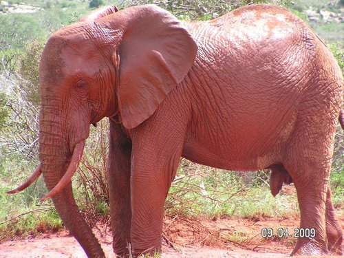 Червеният слон
