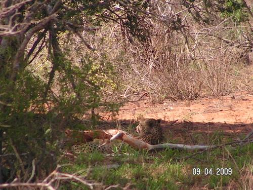 Гепардът мързеливо дреме в следобедната жега