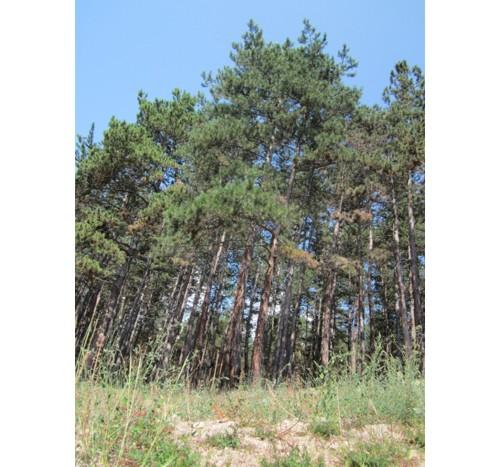 Боровите гори на Велинград