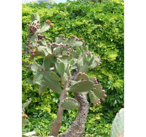 Любимият ми цъфнал кактус