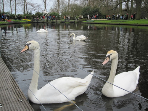 Лебеди се движат грациозно по водните канали