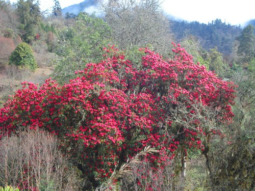 RHODODENDRON IN HIMALAYA