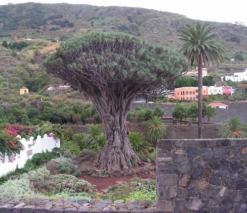 Драконовото дърво
